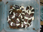 California King Snake with Eggs