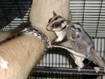 Sugar Glider Mom and Baby