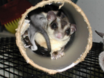 Sugar Glider in Tube