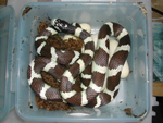 California King : Lampropeltis getulus californiae