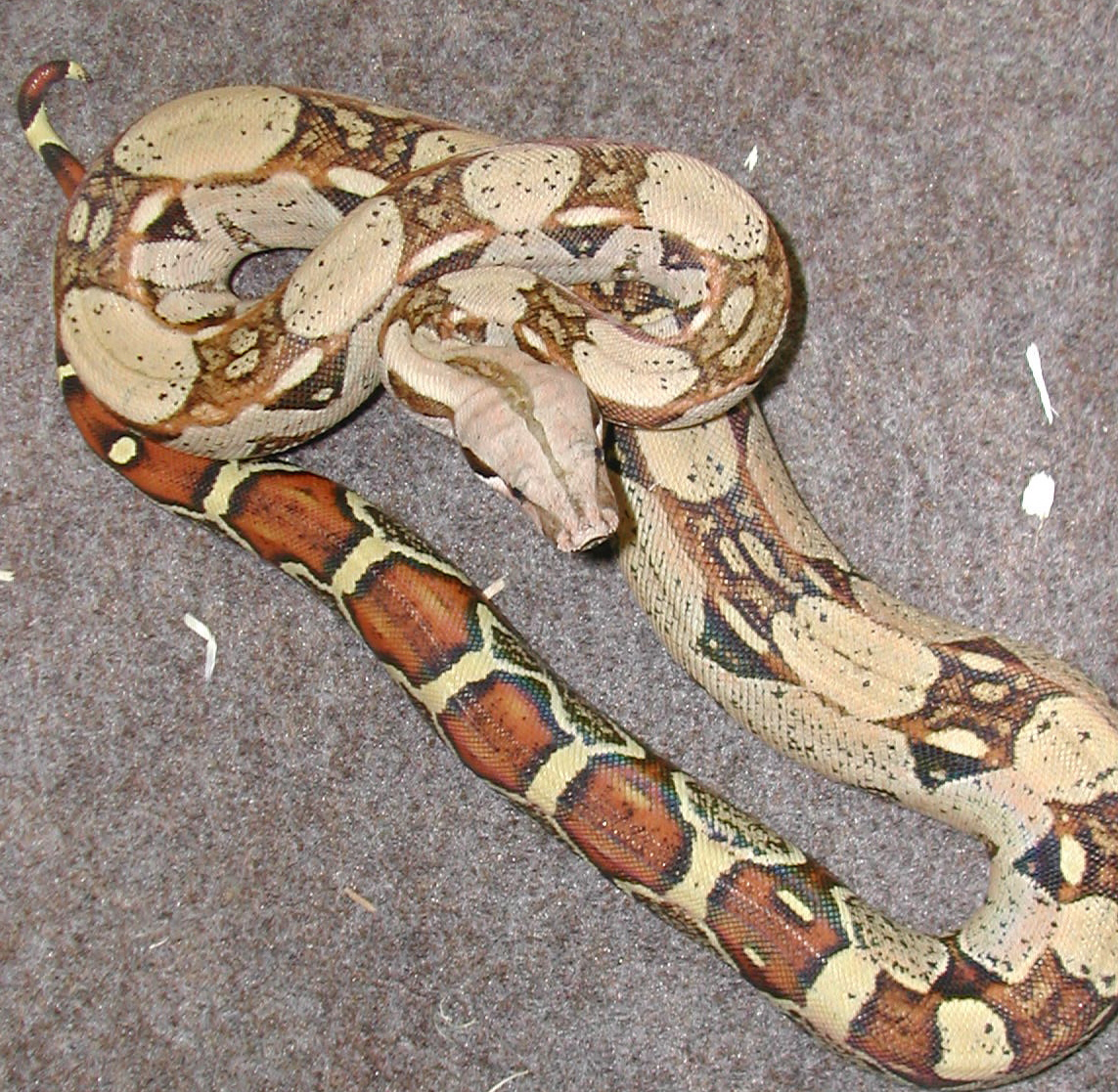Care of your Ball Python